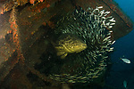 Goliath Groupers