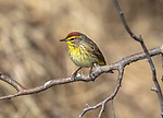 Palm warbler perched on a branch looking for insects in northern Wisconsin.