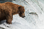 Pictured: A bear stands on top of a waterfall as it catches salmon leaping from the water.   The brown bear waits patiently for the jumping fish before catching them in his mouth.<br /> <br /> The large predator has found a perfect fishing spot and is able to catch four salmon in under ten minutes.   Property manager and amateur photographer Hao Jiang pictured the bear standing atop the Brooks Falls in Katmai National Park, Alaska.   SEE OUR COPY FOR DETAILS<br /> <br /> Please byline: Hao Jiang/Solent News<br /> <br /> © Hao Jiang/Solent News & Photo Agency<br /> UK +44 (0) 2380 458800