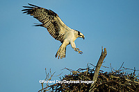 00783-01308 Osprey (Pandion haliaetus) female landing at nest    FL