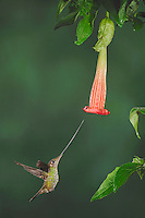 Sword-billed Hummingbird (Ensifera ensifera), female feeding from datura flower,Papallacta, Ecuador, Andes, South America
