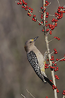 Golden-fronted Woodpecker (Melanerpes aurifrons), female feeding on berries of possumhaw (Ilex decidua), Starr County, Rio Grande Valley, Texas, USA