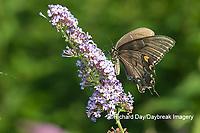 03023-03201 Eastern Tiger Swallowtail (Papilio glaucaus) female (black form) on Butterfly Bush (Buddleja davidii) Marion Co. IL