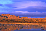 Bosque Del Apache National Wildlife Refuge, Greater Sandhill Cranes (Grus canadensis) in pool with dramatic sunrise sky, New Mexico, USA<br /> Slide # SNM-61