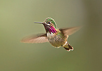 Male Calliope hummingbird in flight.<br />