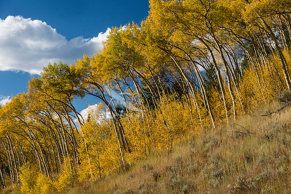 Fall colored aspen trees along Beartooth Highway in northern Wyoming.  Sept.