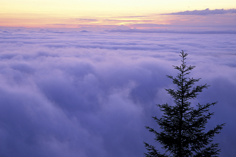 Tree silhouetted against sunrise and clouds, Lookout Rock, Heart of the Hills Road, Olympic National Park, Washington