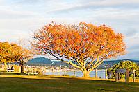 Autumn Tree at the Lake Front Reserve at Lake Taupo, Waikato Region, North Island, New Zealand