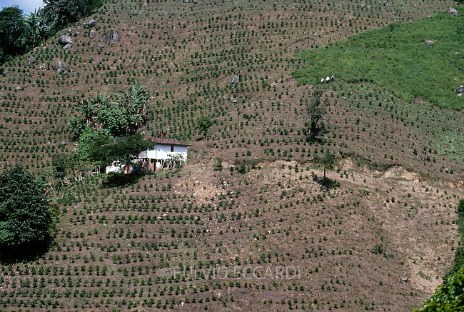 Colombia, Manizales, Java, finca, coffee, coffea, arabica, variety, plantation, plant, grow, organic, landscape