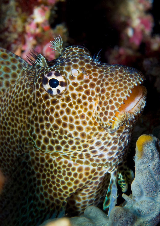 Leopard blenny (Exallias brevis) perched on coral, Fathers reefs, Kimbe Bay