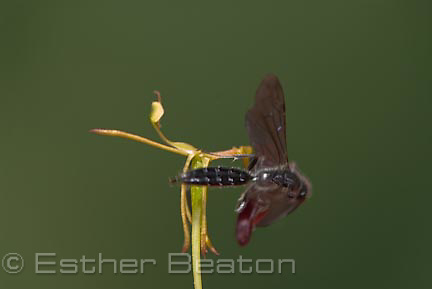 Male Thynnid wasp (Drakaea micrantha) mating with labellum of Dwarf Hammer Orchid (Drakaea micrantha), southwest corner of Western Australia. Series 1 of 3.