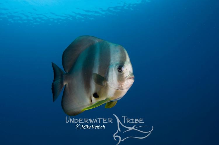 Longfin spadefish or batfish, Platax teira, Raja Ampat, West Papua, Indonesia, Pacific Ocean