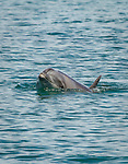 Bottlenose Dolphins swim near our skiffs