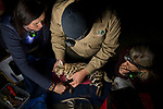 Black-footed Cat (Felis nigripes) biologists, Beryl Wilson and Alex Sliwa, and veterinarian, Birgit Eggers, during collaring of male, Benfontein Nature Reserve, South Africa