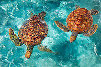 Green Sea Turtles. Bora Bora. French Polynesia.