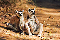 Sitting Ring-tailed Lemurs (Lemur catta), adult, female, with a young animal, portrait, Berenty Game Reserve, Madagascar, Africa
