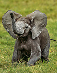 African bush elephant (Loxodonta africana) calf, Amboseli National Park, Kenya<br /> <br /> Nikon, Nikkor lens, Fujichrome Velvia