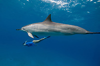 freediver swims along side a spinner dolphin, Stenella longirostris, Hawaii ( Central Pacific Ocean )