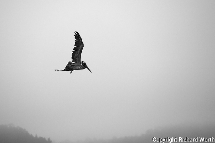 A brown pelican flies over Pillar Point Harbor with a background of  the fog covered Santa Cruz Mountains.