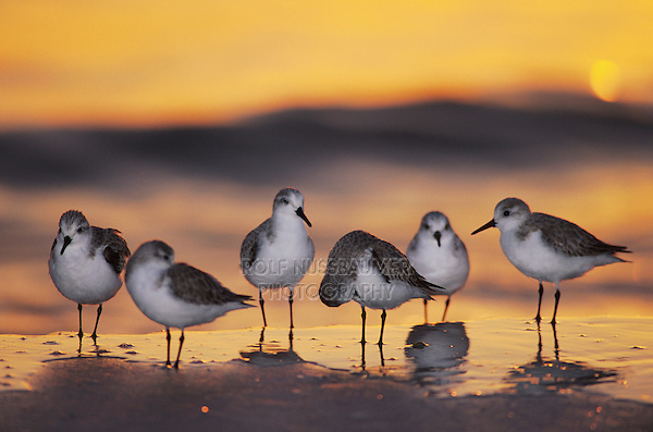 Sanderling, Calidris alba, group at sunset winter plumage, Sanibel Island, Florida, USA
