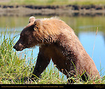 Alaskan Coastal Brown Bear Climbing Bank, Silver Salmon Creek, Lake Clark National Park, Alaska