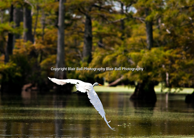 Egret takes off as we approach in boat on Reel Foot lake, near Tiptonville, TN. Reel Foot Lake