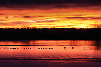 Canadian Geese patrol the ice edge as they watch a spectacular sunrise unfold in Colorado.