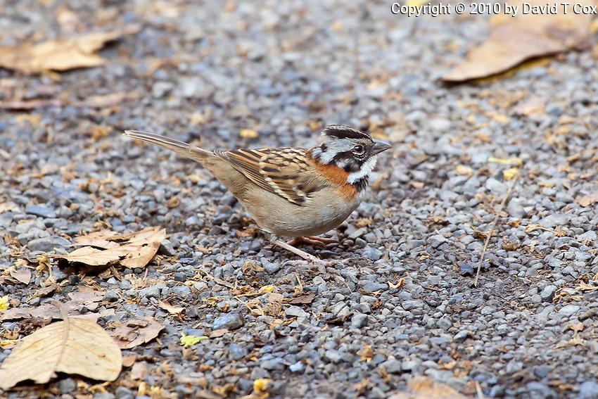 Rufous-collared Sparrow, Coban, Guatemala