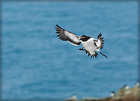 Razorbill landing with wings outstretched and feet down