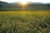 Fields of hairy desert sunflower, in Death Valley often called desert gold (Geraea canescens), and the Panamint Range, near Ashford Mill, Death Valley National Park, California.