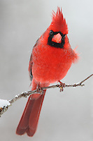 Northern Cardinal during a rare Central Texas snowfall.