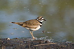 Killdeer (Charadrius vociferus) standing at the edge of a pond