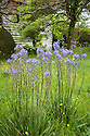 Camassia cusickii, Meadow Garden, Great Dixter, early May.