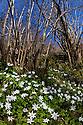 Wood Anemones {Anemone nemorosa} carpeting a woodland floor. Peak District National Park, Derbyshire, UK. May.