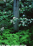Hickory Run State Park, PA, flora, Mountain Laurel and ferns, Northeast PA Landscape,