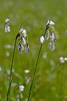 Breitblättriges Wollgras, Eriophorum latifolium, Broad-leaved Bog-cotton, broad leaved cotton sedge, broad leaved cotton-sedge, broad leaved cottonsedge