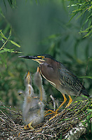Green Heron, Butorides virescens, adult with young in nest in Willow Tree, Welder Wildlife Refuge, Sinton, Texas, USA