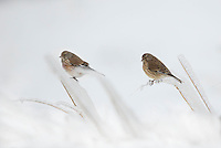 Linnet, Carduelis cannabina, in snow, ice grasses, Bulgaria