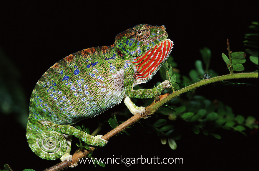 Adult Labord's Chameleon (Furcifer labordi) in aggressive posture. Kirindy Forest, western Madagascar.