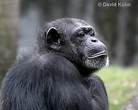 0209-08oo  Chimpanzee, Pan troglodytes © David Kuhn/Dwight Kuhn Photography