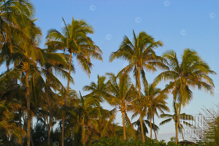 Palm trees lit by early morning sun