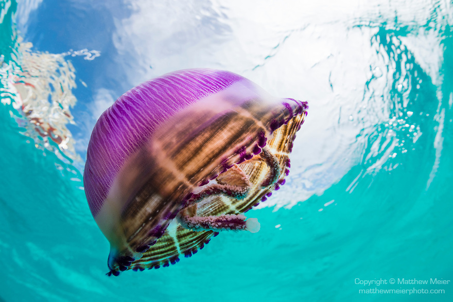 Blue Lagoon, Rangiroa Atoll, Tuamotu Archipelago, French Polynesia; a purple jellyfish floating just below the water's surface