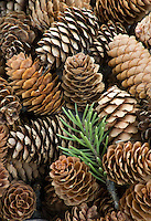 Pine cones form patterns at Roarinng Mountain Picnic Grove in Yellowstone National Park, Wyoming