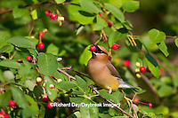 01415-03101 Cedar Waxwing (Bombycilla cedrorum) eating berry in Serviceberry Bush (Amelanchier canadensis), Marion Co., IL