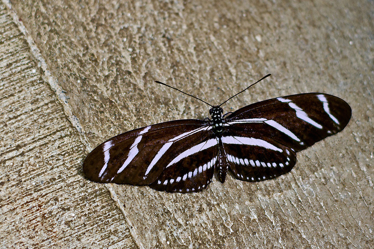 The state butterfly of Florida, a Zebra Longwing, is sitting on a shades of tan concrete piller with its wings spread wide showing off its beautiful white zebra-stripes and decorative bands along the edge of the hind wing.