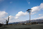 The solitary standing  black pine that had been a symbol of hope, but is slowly succumbing to the salty soil in Rikuzentakata, Iwate Prefecture, Japan on 24 Feb. 2012. .Photographer: Robert Gilhooly