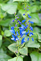 Cacalia-leaved salvia (Salvia cacaliifolia), mid October. Also called blue vine sage, and sometimes spelled S. cacaliaefolia.