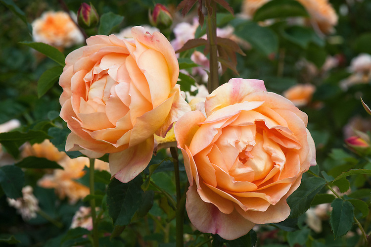Rosa Lady of Shalott ('Ausnyson'), late June. A bushy shrub rose with masses of lightly scented, apricot-orange blooms that appear on slightly arching stems throughout the summer.