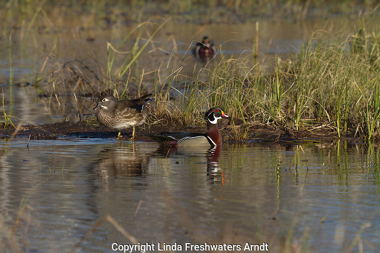 Pair of Wood Ducks