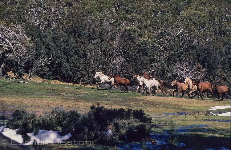 Mountain Cattlmen, or stockmen, chasing wild horses across high country meadow. Mt Buller area, Snowy Mountains, Victoria